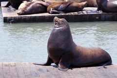 Sea lion at the pier Royalty Free Stock Photos