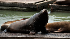 Sea Lion at Pier 39 Royalty Free Stock Images