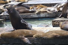 Sea Lion on Pier 39 in San Francisco Stock Image