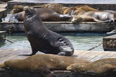 Sea Lion on Pier 39 in San Francisco Royalty Free Stock Photography