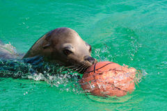 Sea-lion Stock Photography