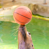 Sea-lion. Sea lion at play ball in the pool Royalty Free Stock Photo
