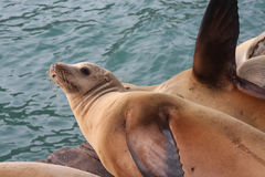 Sea Lion Play. Sea lions resting on dock royalty free stock images