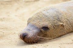 A sea lion play sand on the beach Stock Photo