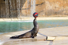 Sea Lion. Playing with a ball closeup Royalty Free Stock Photo
