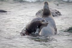 Sea lion playing with couple ,Galapagos Royalty Free Stock Images