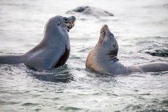 Sea lion playing with couple ,Galapagos Royalty Free Stock Image