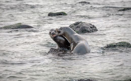 Sea lion playing with couple ,Galapagos Stock Photo