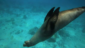 Sea lion playing with pebble underwater. Sea lion playing underwater in the Galapagos Islands stock footage