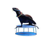 Sea lion playing with rings. Isolated Royalty Free Stock Photography