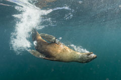 Sea lion playing underwater. Diver approaching sea lion sea lion playing underwater Stock Photography