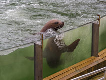 Sea Lion playing in the water Stock Photo