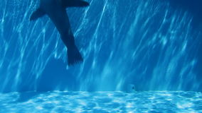 Sea lion in pool. Sea lion swimming inside pool with blue water stock video footage