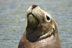 Sea lion portrait Stock Images