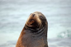 Sea Lion portrait , Galapagos. Stock Image