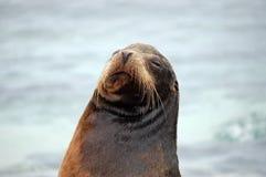 Sea Lion portrait , Galapagos. Sea Lion in threatening position. Loberia, San Cristobal Island Stock Image