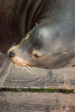Sea lion portrait Stock Image