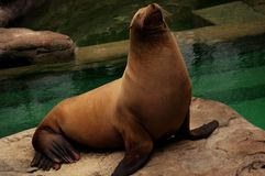 Sea lion. A sea lion poses for the camera just outside his pool of water Royalty Free Stock Photography