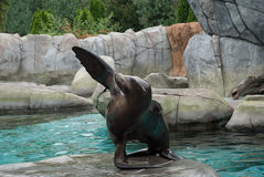 Sea lion. Poses for the viewers Stock Photography