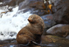 Sea lion posing at Otago Coastline Royalty Free Stock Photography
