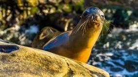 Sea lion posing sniffing intruders. Near La Jolla Beach, San Diego, california, USA Stock Photos