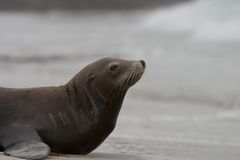 Sea Lion Profile. An old sea lion preparing to head out into the ocean at Pebble Beach, CA Royalty Free Stock Photography