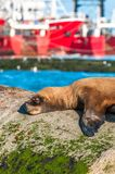 Sea Lion in Puerto Deseado, Patagonia, Argentina Stock Images