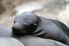 Sea lion pup Royalty Free Stock Photography