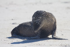 Sea Lion Pup. A sea lion pup covered in sand Stock Photography