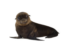Sea-lion pup (3 months) Royalty Free Stock Image