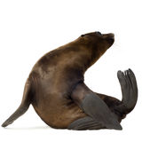 Sea-lion pup (3 months) Royalty Free Stock Photos