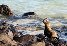 Sea Lion Pup Stock Images