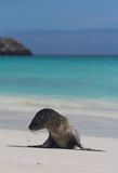 Sea Lion Pup on the Beach. A Sea Lion Pup on the Beach Royalty Free Stock Images