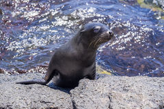 Sea Lion Pup Coming Out of the Ocean Stock Images