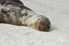Sea lion pup covered with sand sleeping on the beach Stock Photos