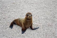 Sea Lion Pup, Galapagos Islands, Ecuador Stock Photo