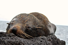 Sea Lion Pup, Galapagos Islands, Ecuador Royalty Free Stock Photo
