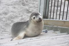 Sea Lion Pup at Kangaroo Island Royalty Free Stock Photos