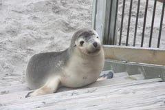 Sea Lion Pup at Kangaroo Island. Sealion pup on stairs at kangaroo island Australia Royalty Free Stock Photos