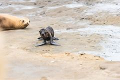 Sea Lion Pup and Mom on the rocks in La Jolla, California, USA. A photograph of a sea lion pup walking on the cliffs in La Jolla, California, USA with its mom Stock Photos