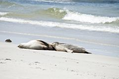 Sea lion and pup. The sea lion is nursing her young pup on a beach at Seal Bay stock photo