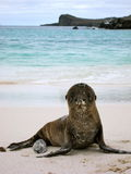 Sea Lion Pup on the Shore of Esponala Royalty Free Stock Photography
