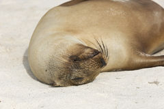 Sea lion pup sleeping Royalty Free Stock Photo