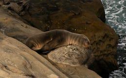 Sea Lion pup sleeps on rock. In La Jolla, San Diego, California royalty free stock photos