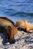 Sea lion pup suckling from mother on beach Stock Photography