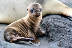 Sea Lion Puppy Royalty Free Stock Photo