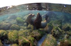 Free Sea Lion Pups Playing Underwater Royalty Free Stock Photography - 32679717