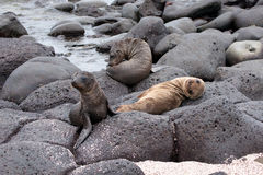 Sea lion pups Stock Photos