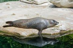 Sea Lion Pups Stock Photography