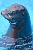 Sea lion. At Rancho Texas Park Lanzarote Royalty Free Stock Images